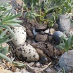 Killdeer chicks shortly after hatching