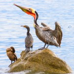 Pelican and Cormorants at Los Barriles